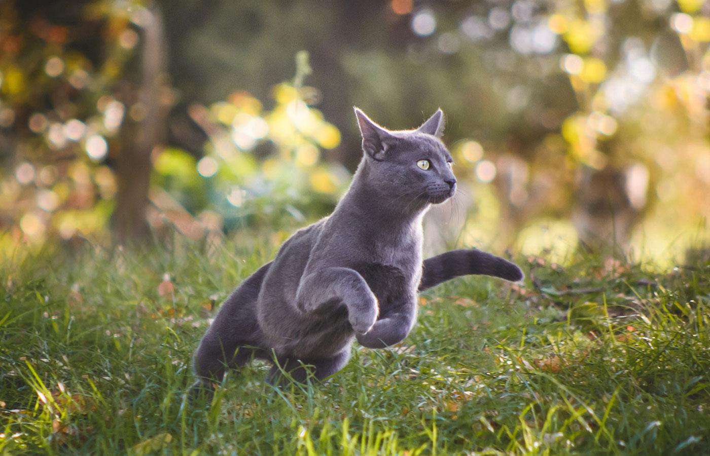 Cute blue russian cat running in nature