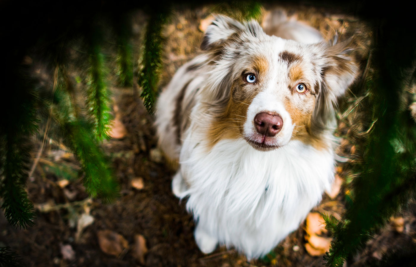 Red merle australian shepherd dog with amazing eyes sitting under the conifers.