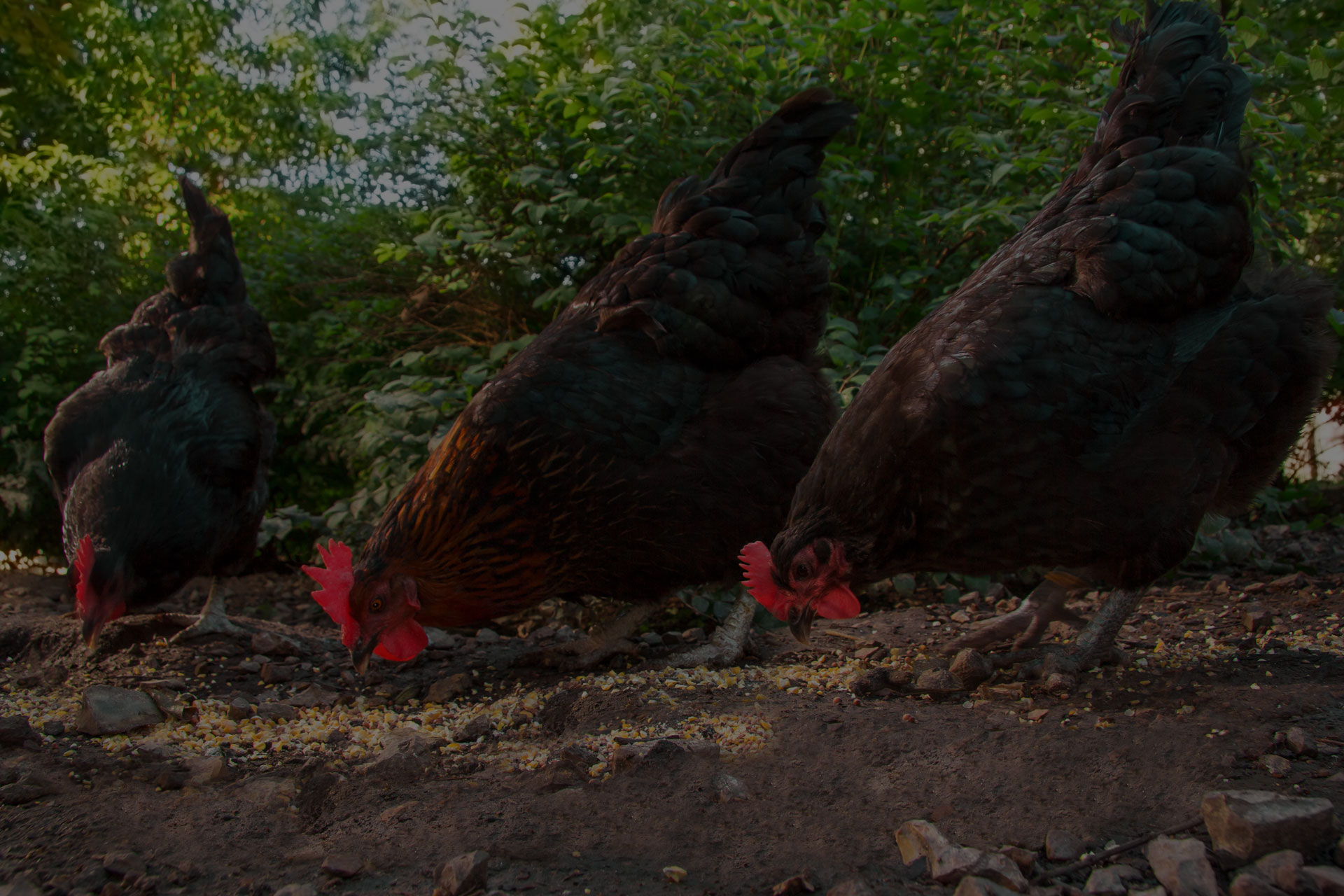 Three Black Australorp hens scratch for food in the barnyard