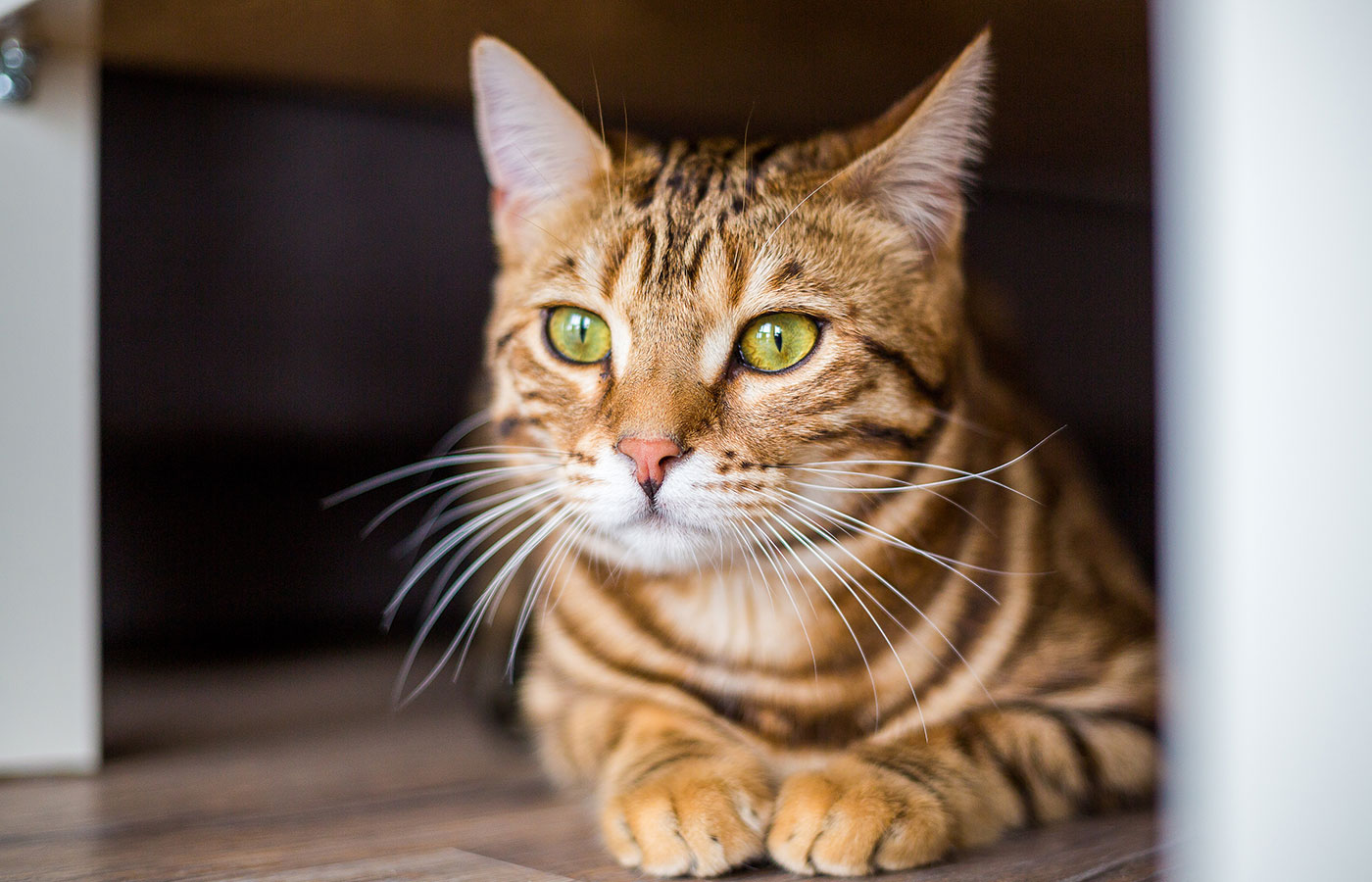 Funny beautiful cute bengal cat hiding under the sofa