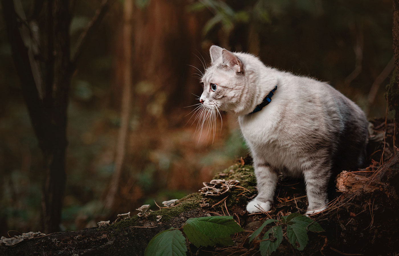 Beautiful white-gray, blue-eyed cat in the autumn forest on a blurred background