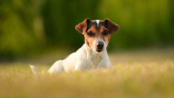 Proud dog is lying in the evening light on a spring meadow in front of tender background