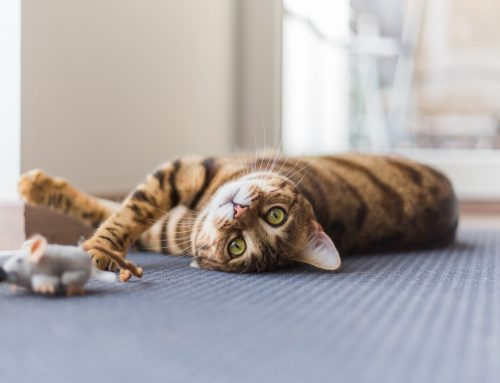 The Importance of Feline Wellness