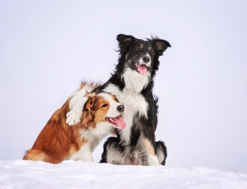 Common Winter Toxins for Pets