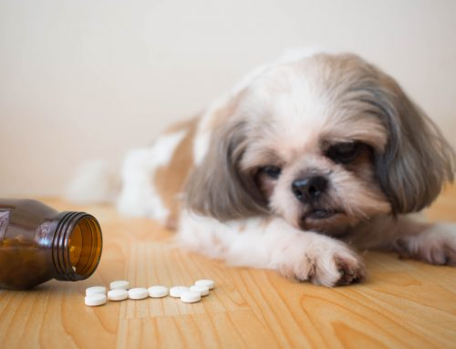 What Dangers Lurk Within Your Home? How to Protect Your Pet from Poisons