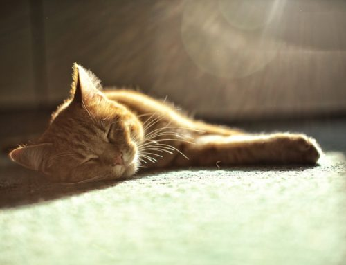 Healing Rays of Light: Therapy Laser Use in Pets