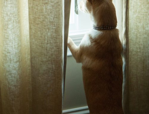 A Step-By-Step Guide for Solving Your Pet's Separation Anxiety