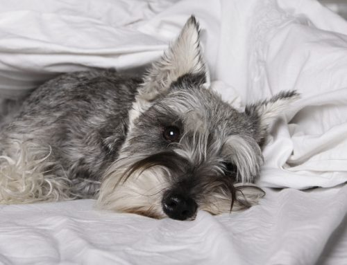 The Pet Owner's Guide to Canine Influenza