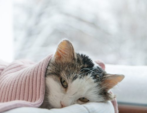 """""""Kitty Colds:"""" A Primer on Feline Infectious Respiratory Diseases"""